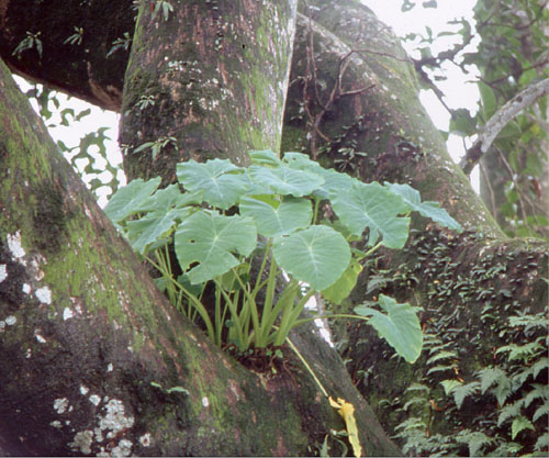 Nepal >> Araceae