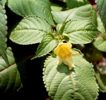What does family Balsaminaceae mean? definition and ...