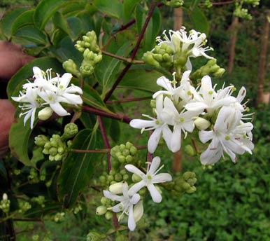 Arbuste à fleurs blanches odorantes