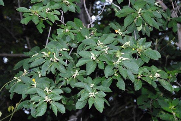 Clethra barbinervis