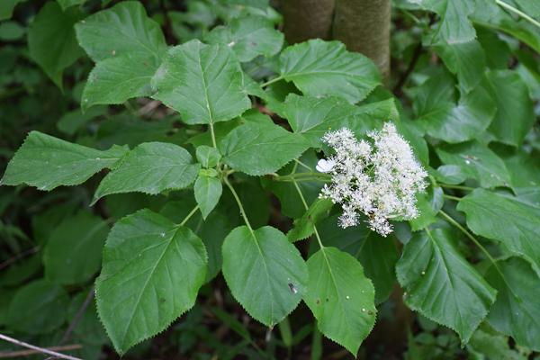 Hydrangea petiolaris - Hydrangea petiolaris ...