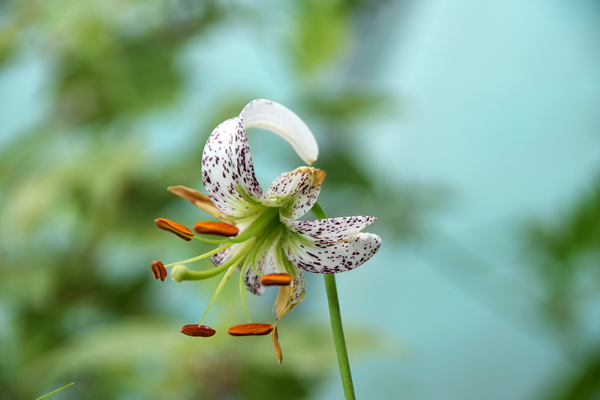 cornus controversa variegata greffe