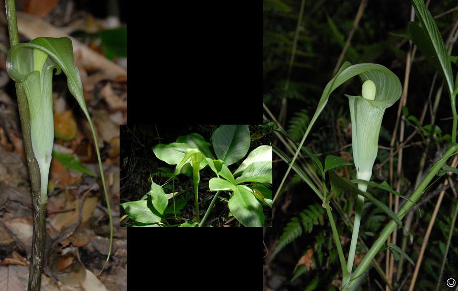 Arisaema for Plante 60 80