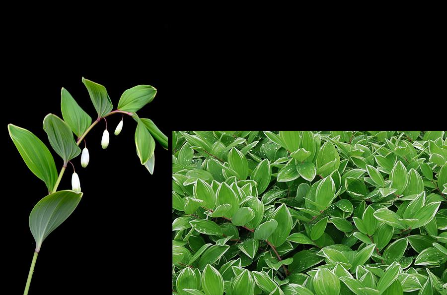 Polygonatum for Plante verte japonaise