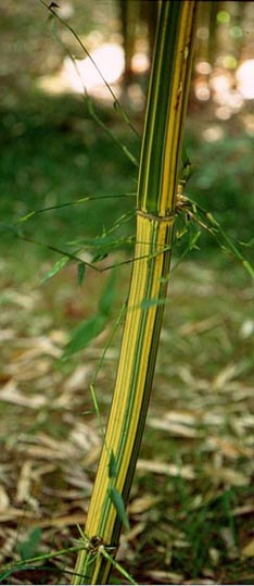 fargesia murielae dragonfly