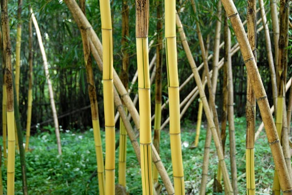 phyllostachys vivax. Black Bedroom Furniture Sets. Home Design Ideas