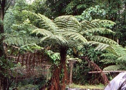 Cyathea spinulosa