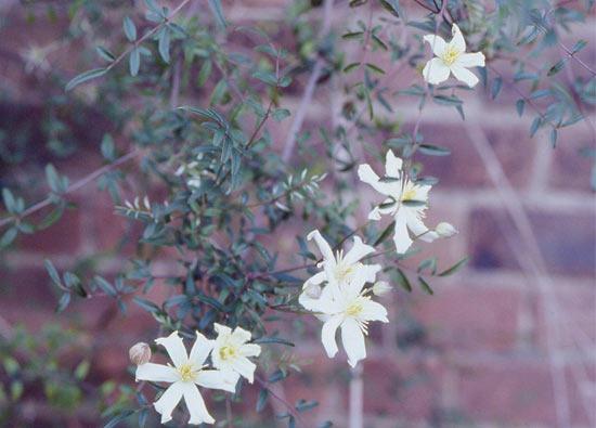 银叶铁线莲      藤本植物常见小菝葜