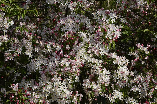 floribunda crabapple - photo #40