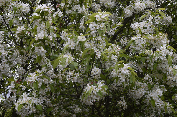 Mapra6 moreover SWEET SUGAR TYME C2 AE  pact Crabapple as well Imagexr5 additionally Malus Sargentii likewise 397061958. on crabapple