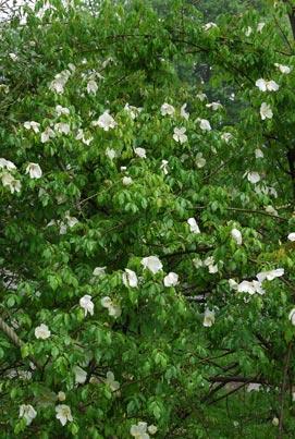 Rosa gigantea