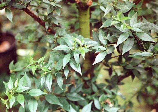 Rutaceae for Citrus myrtifolia
